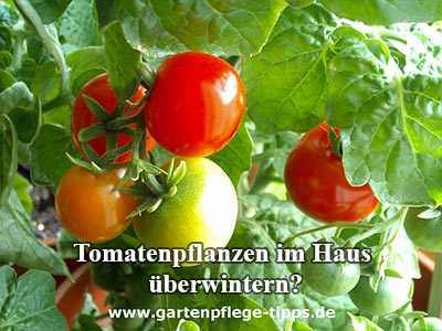 Tomaten im Winter